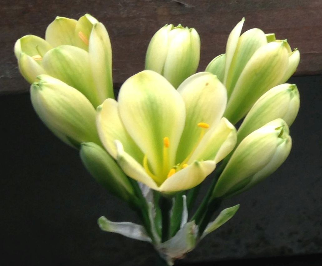 Clivia miniata seeding - will flower GREEN