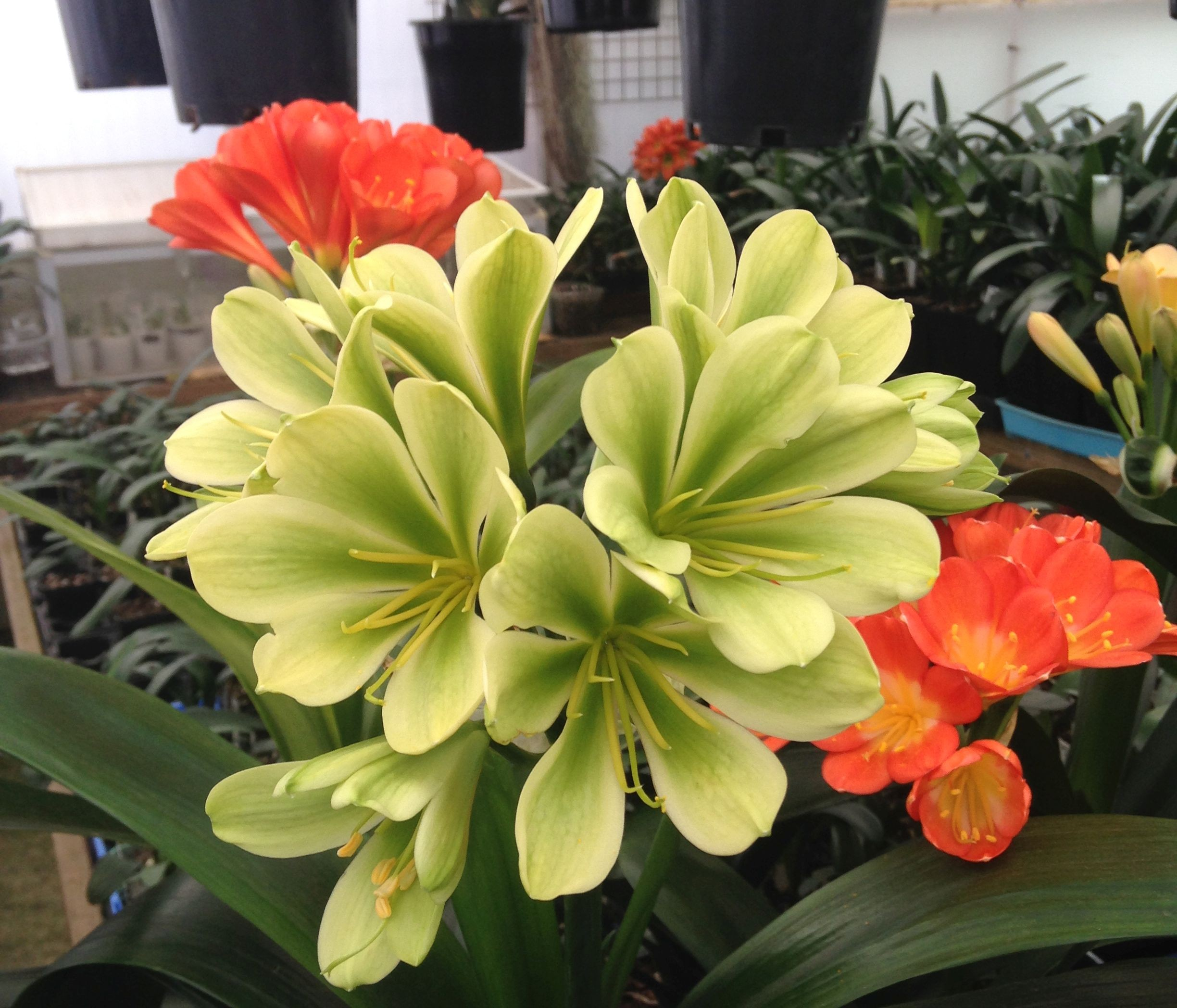 Clivia miniata seeding - will flower BRONZE